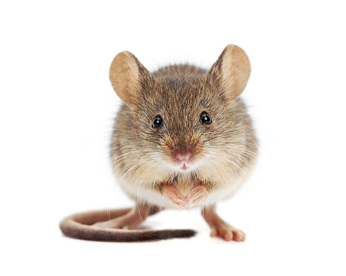 Mice Trapping and Removal Essex | Tracker Pest Control