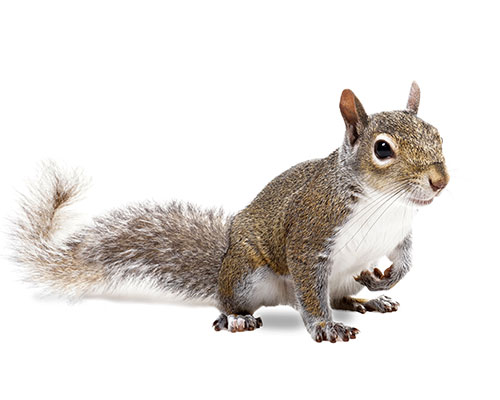 Squirrel Pest Control | Tracker Pest Control
